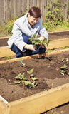 Woman gardener is planting strawberries Royalty Free Stock Photos