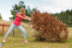 Woman removing pulling dead tree stock photos