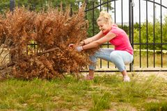 Woman removing pulling dead tree. Woman gardener removing and pulling withered dried thuja tree from her backyard. Hard yard work around the house stock image