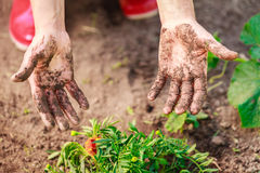 Woman gardener replanting flowers Stock Image