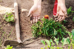 Woman gardener replanting flowers Royalty Free Stock Photography