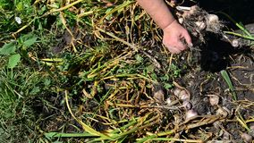 Woman gardener shakes the ground with garlic stock video