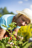 Woman gardener taking care of the garden Royalty Free Stock Images