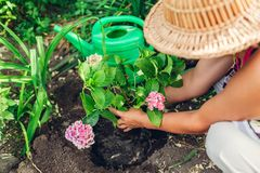 Woman gardener transplanting hydrangea flowers from pot into wet soil. Summer garden work. Woman gardener transplanting hydrangea flowers from pot into wet soil stock photos