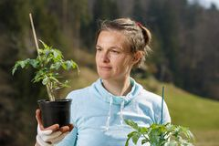 Woman gardener watching her tomato seedlings prepared to be planted on her garden royalty free stock photo