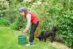 Woman gardening with Border Collie dog Team mate Friends. A woman gardening while near Border Collie dog is standing behind her. She is bending forwards towards stock photos