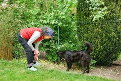 Woman gardening with Border Collie Green vegetation. A mature woman bending forward to work in her garden. Her Border Collie dog is watching what she is doing royalty free stock photography