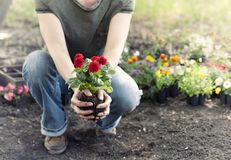 Woman gardening and holding spring Dahlia flowers in her hands Royalty Free Stock Photo