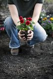 Woman gardening and holding spring Dahlia flowers in her hands Royalty Free Stock Photography