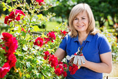 Woman gardening red roses and holding horticultural tools on sun. Happy charming mature woman gardening red roses and holding horticultural tools on sunny day Stock Photo
