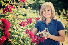 Woman gardening red roses and holding horticultural tools on sun. Happy charming mature woman gardening red roses and holding horticultural tools on sunny day Stock Photos