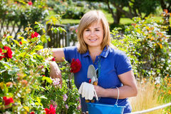 Woman gardening red roses and holding horticultural tools on sun. Smiling blond mature woman gardening red roses and holding horticultural tools on sunny day Royalty Free Stock Photo