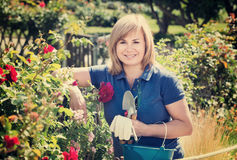 Woman gardening red roses and holding horticultural tools on sun. Smiling blond mature woman gardening red roses and holding horticultural tools on sunny day Royalty Free Stock Photography