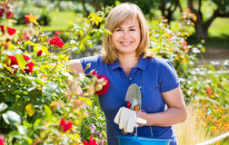 Woman gardening red roses and holding horticultural tools on sun. Smiling happy blond mature woman gardening red roses and holding horticultural tools on sunny Royalty Free Stock Images