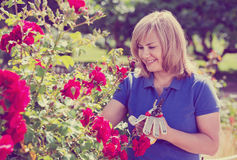 Woman gardening red roses and holding horticultural tools on sun. Smiling happy charming mature woman gardening red roses and holding horticultural tools on Stock Photos