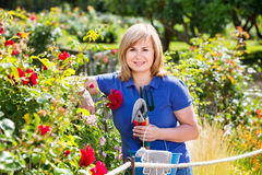 Woman gardening red roses and holding horticultural tools on sun. Smiling happy  mature woman gardening red roses and holding horticultural tools on sunny day Stock Images