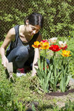 Woman gardening - spring garden with tulips Stock Image
