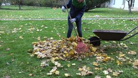 Woman gather dry maple leaves in barrow in yard. Autumn time. 4K. Young woman gather dry maple leaves pile into rural barrow in yard. Autumn time. 4K stock footage