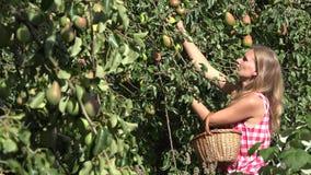 Woman gather fresh pear fruit in basket in summer garden. 4K stock video footage