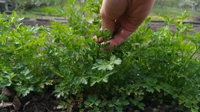 Woman gather green fresh parsley. Petroselinum crispum stock video