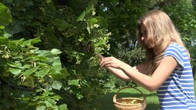 Woman gather linden flowers herbs from tree branches to basket. 4K stock video footage