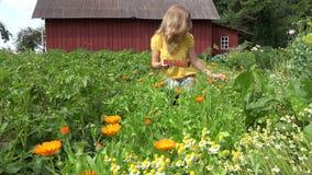 Woman gather marigold blossom wicker plate in summer garden. 4K stock video