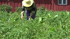 Woman gather parasite colorado bug potato plant in garden. 4K stock video footage