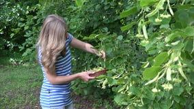 Woman gathering fresh linden flower in park. Seasonal herbal . 4K. Blonde woman gathering fresh plant linden flower in green park. Seasonal herbal picking. Focus stock footage