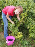 Woman gathers black currant Stock Images
