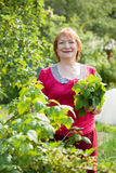 Woman gathers currant leaves Royalty Free Stock Photos