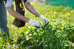 A woman gathers fresh nettles. In a field stock photography