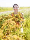 Woman gathers Hypericum Stock Photos