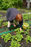 The woman gathers strawberry on a garden site Stock Photography