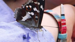 Woman holding butterfly. Woman girl hand holding a big curious butterfly stock footage