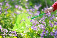 A woman girl hold green net pocket to catch insects purple flower in summer spring park outdoor at a sunny day capture Butterfly stock image