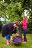 Woman with girl picking plums Royalty Free Stock Photo