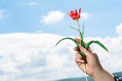 Wild tulip flower. A woman give wild tulip flower on sky background Royalty Free Stock Photo