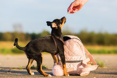 Free Woman Gives A Pinscher Hybrid Puppy A Treat Stock Photos - 98911653