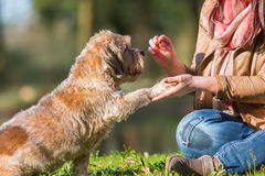 Woman gives dog a treat and gets the paw. Picture of a woman giving her dog a treat and getting the paw Royalty Free Stock Image