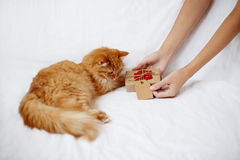 Woman gives her flurry pet a christmas present. Stock Image