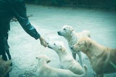 Woman gives homeless dog food. Woman hand feeding the dog.  Stock Image