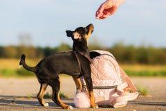 Woman gives a pinscher hybrid puppy a treat. Picture of a woman who gives a pinscher hybrid puppy a treat Stock Photos