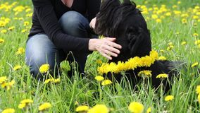The woman is giving a dandelion wreath to a dog. The woman is giving a dandelion wreath to the neck of a Giant Black Schnauzer dog lying at the blooming stock footage