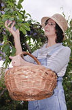 Woman in glasses picking plums Stock Photography