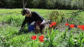 Woman with gloves care spring tulip flowers in backyard. Woman with protective gloves care beautiful spring tulip flowers in backyard. Recreation in garden stock video