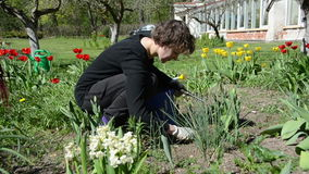 Woman with gloves carefully weeding spring tulip flowers bed. Gardener woman with gloves carefully weeding spring tulip flowers bed in backyard stock video