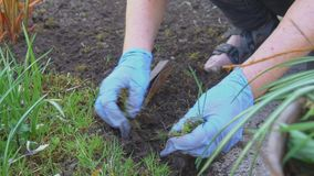 Removing weeds from garden. Woman in gloves removing weeds from garden stock footage