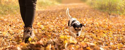 Owner an Jack Russell Terrier in autumn leaves royalty free stock image