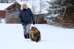 A woman goes for a walk with her Norwegian Forest Cat in winter Stock Images