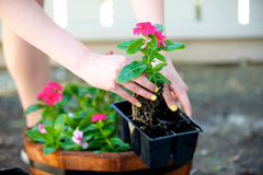 Woman grabs red flower out of black package. In the shade Stock Photo